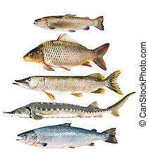 peixe, cobrança