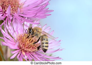 Aster Flower with Bee - Bee collectin pollen on a pink aster...