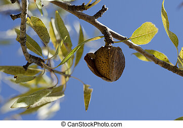 Almond Ready to Pick - An Almond on the tree with blue skys...