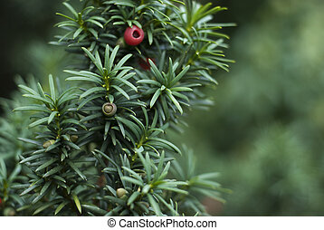 Close up of Yew Tree branch with red berries