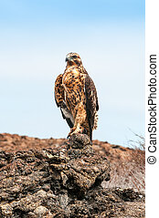 Galapagos Hawk perching on a rock. - Galapagos Hawk perching...