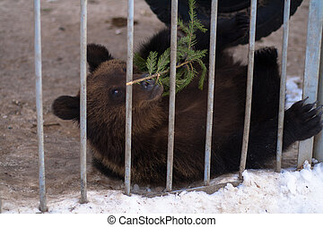 brown bear playing with a sprig of fir