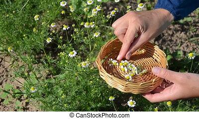 herbalist hand camomile