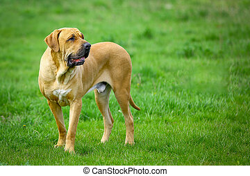 Brazilian Mastiff or Fila Brasileiro dog at the park