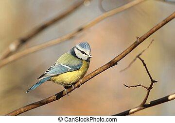 Blue tit Parus caeruleus in autumn morning