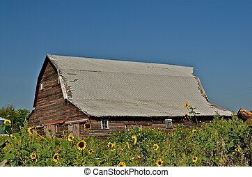 Barn Surrounded by Sunflowers - An aged weather beaten barn...