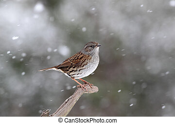 Dunnock or hedge sparrow, Prunella modularis - Dunnock,...