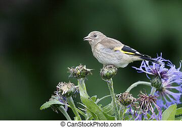 Goldfinch, Carduelis carduelis, young bird on cornflower in...