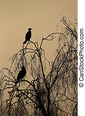 Great cormorant, Phalacrocorax carbo, two birds in tree...