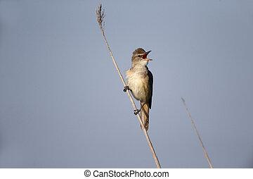 Great-reed warbler, Acrocephalus arundinaceus, single bird...