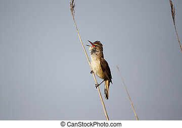 Great-reed warbler, Acrocephalus arundinaceus, single bird...