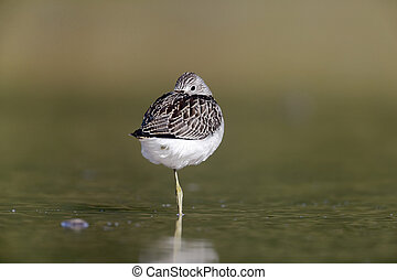 Greenshank, Tringa nebularia, single bird in water,...