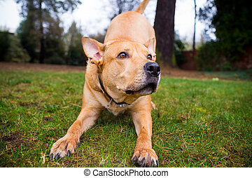 Pitbull Lab Mixed Breed Dog - Mixed breed dog pitbull and...