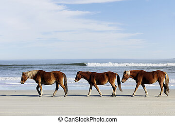 Three Wild Mustangs on a Beach - Three wild horses walking...