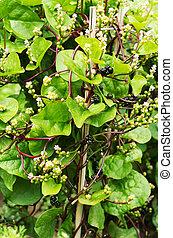 Malabar spinach plant in garden