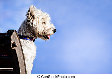 Cairn Terrier Dog - Profile of cute Cairn Terrier dog...