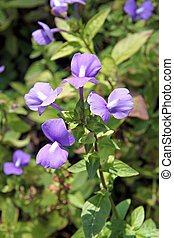 violet of Rose Balsam - Violet Garden Balsam or Rose Balsam...