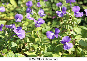 violet of Rose Balsam. - Violet Garden Balsam or Rose Balsam...