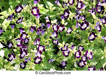 Violet Rose Balsam. - Violet Garden Balsam or Rose Balsam in...