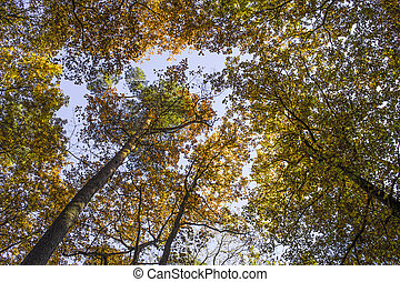 trees in autumn   - trees in autumn in the forest