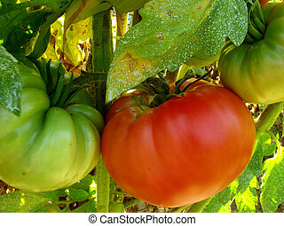 pink home grown tomatoes sprayed with Bordeaux mixture to...