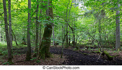 Primeval deciduous stand of Bialowieza Forest in summer with...