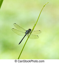 Dragonfly with green field, in nature.