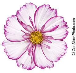 cosmos - Studio Shot of Fuchsia Colored Cosmos Flower...