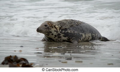 grey seal watch attentive pup - A female grey seal watch...