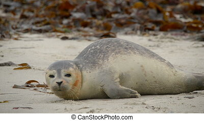 young wounded seal - A young wounded seal - two angle shot....
