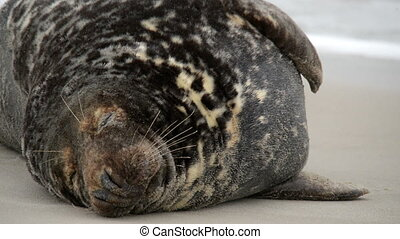 big male grey seals close