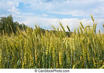 Oats field - Picture of Oats in the Harvest in Russia