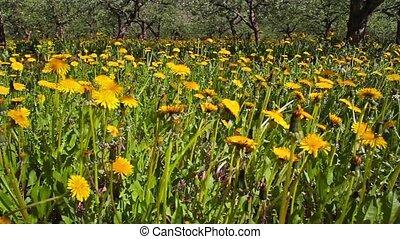 dandelions, shooting slider, macro