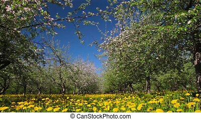 blossoming apple orchard, shooting