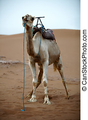 Camel in the Sahara