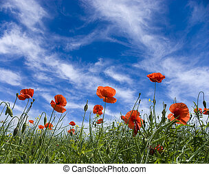 poppy red - Red poppies on green field