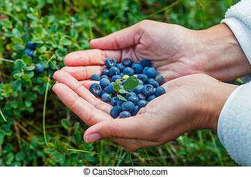 Wild ripe blueberry. - Human hands and a bush of a ripe...