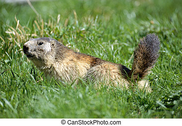 Big marmot walking in the grass, in french alps, France -...