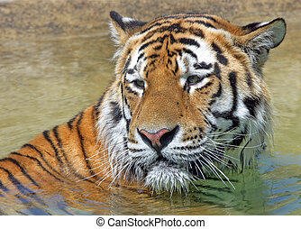 Bengal Tiger - A male Bengal Tiger bathing