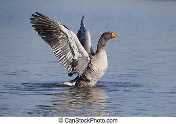 Greylag goose, Anser anser, single bird wing stretching,...