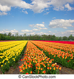 Dutch yellow and orange tulip fields in sunny day - Famouse...