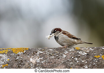House sparrow, Passer domesticus, single male with nest...