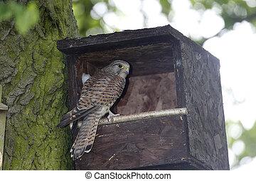 Kestrel, Falco tinnunculus, single female at nest box,...