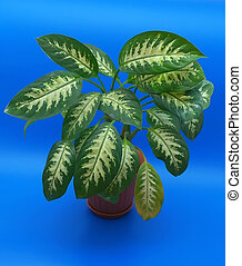 Leaves of the flower (dieffenbachia) over blue