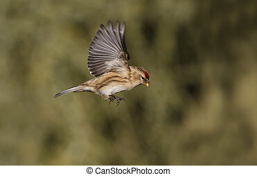 Lesser redpoll, Carduelis cabaret, Single bird in flight,...