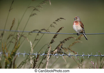 Linnet, Carduelis cannabina, single male bird on fence wire,...