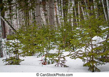 picea, Nieve -covered, joven