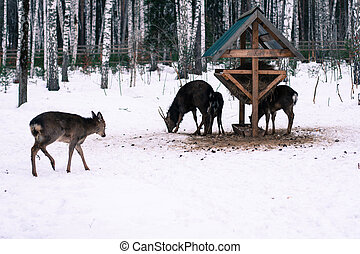 Roe deers feeding in the forest in the winter