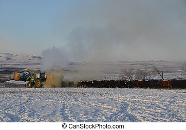 Winter Feeding of the Beef Herd - A round hay bale is being...
