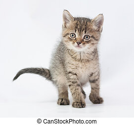 Striped fluffy kitten looking forward on white background